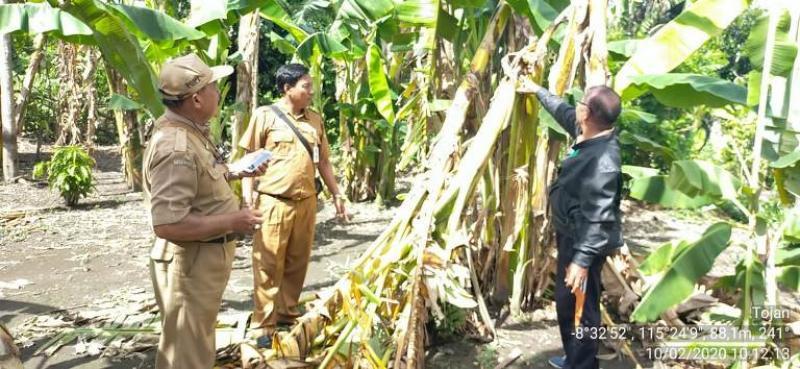 Hama Penyakit Layu Serang Tanaman Pisang Bali Tribune